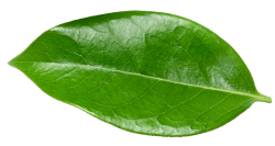 Vitalize_Website_LeafDivider_2a